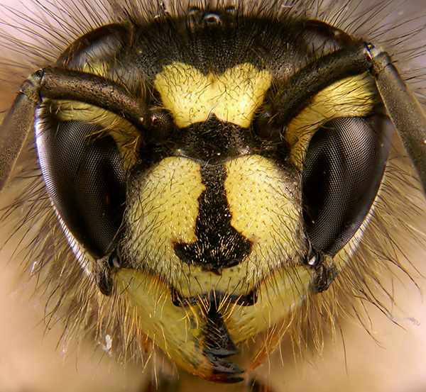 Portrait of common wasp Vespula vulgaris