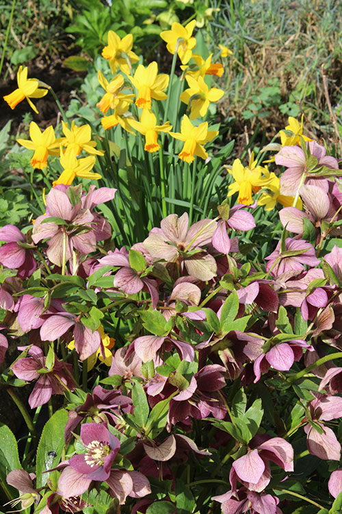A perfect combo – hellebores and daffodils