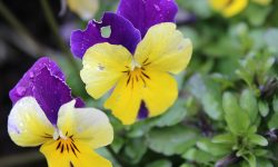 Winter-flowering violas are a splash of colour in Spring too