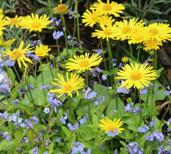 The cheerful golden daisy-like flowers of Doronicum amid a froth of Forget-me-Nots