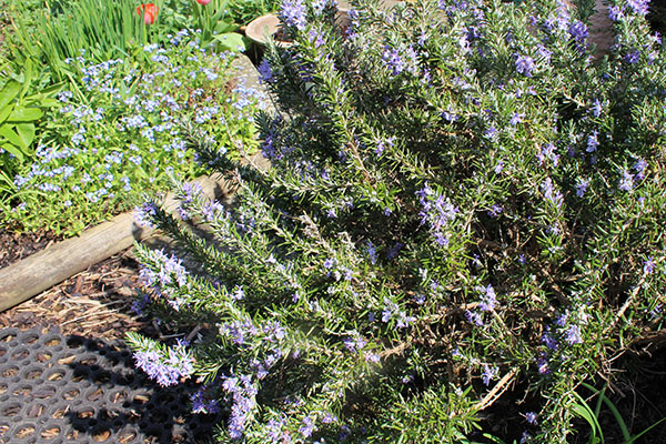 Rosemary - plant of the month April 2018