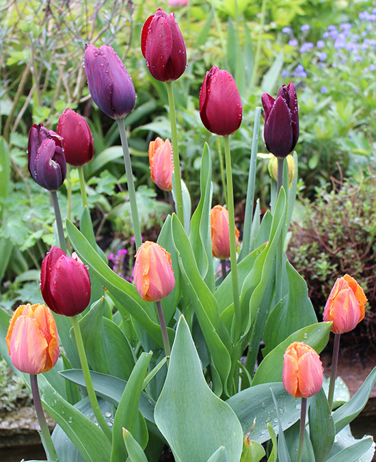Venetian tulip collection - a very classy combination of colours