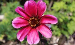 Dahlia bloom
