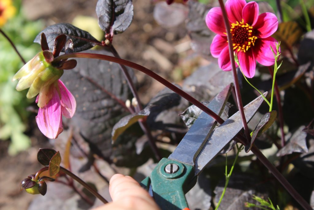 Where to cut off spent dahlia heads