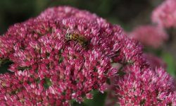 Sedums are extremely bee friendly