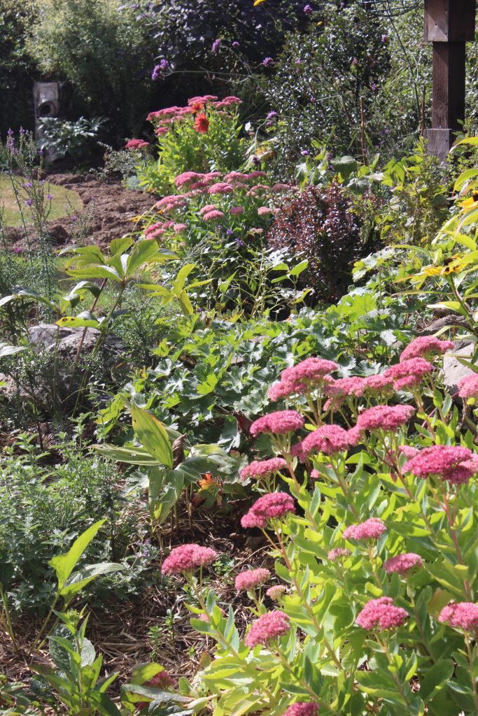 I repeat my Sedums at intervals around the garden