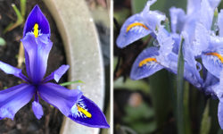February-iris