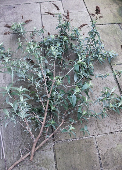 Pruned branch of Buddleja davidii
