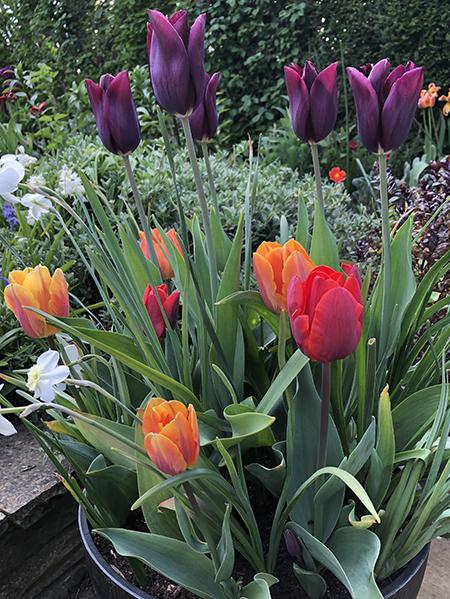 Tulip colour combinations