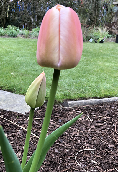 First tulip 2020