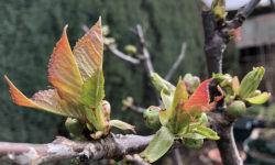 Cherry tree bud burst