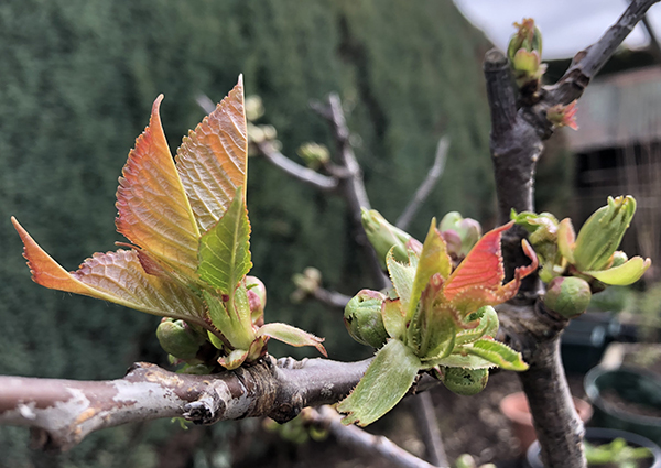 Cherry tree bud burst