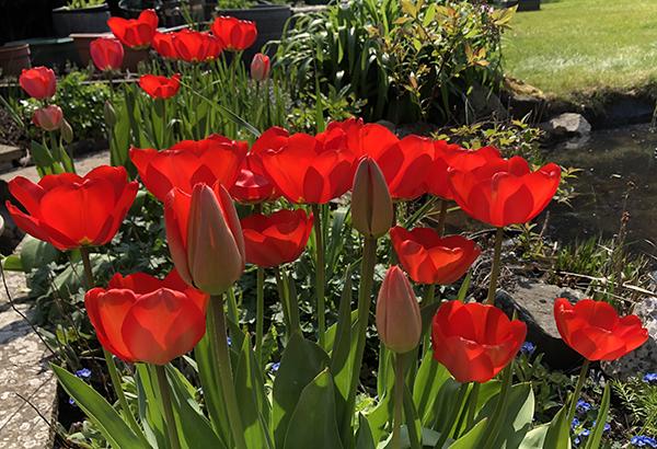 Radiant tulips