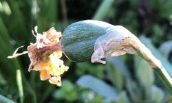 Daffodil seed pod