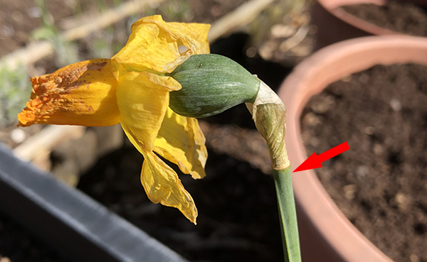 Remove spent daffodil blooms